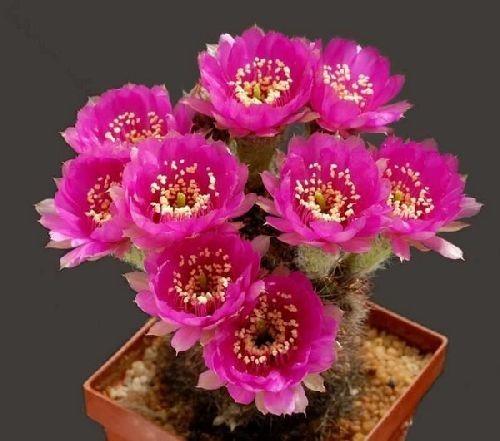 De Tres Belles Fleurs